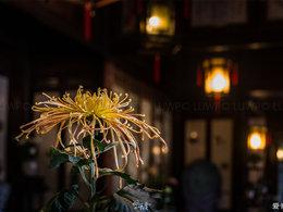苏州留园赏秋菊