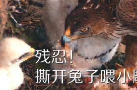 动物界残酷的生存法则:白腹隼雕捕捉兔子喂养刚出生不久的小雕
